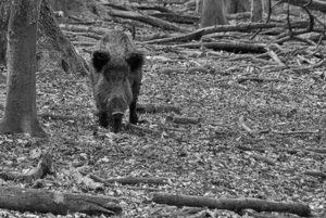 Wildkamera Testsieger Pixello Wildschwein